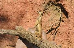 Meerkat lub suricate stojaki na drzewnym bagażniku Zdjęcie Royalty Free