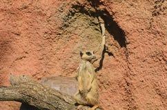 Meerkat lub suricate stojaki na drzewnym bagażniku Fotografia Stock