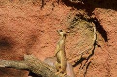 Meerkat lub suricate stojaki na drzewnym bagażniku Zdjęcia Royalty Free