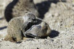Meerkat lub suricate Suricata suricatta fotografia stock