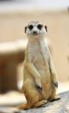 Meerkat lub Suricate, Suricata suricatta Zdjęcia Royalty Free