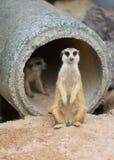 Meerkat lub suricate Suricata suricatta Obraz Stock