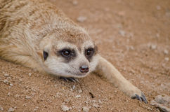 Meerkat lying on the beach na piasku Fotografia Stock