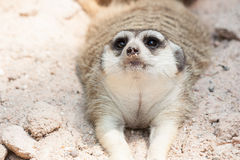 Meerkat lying on the beach na piasku Zdjęcia Royalty Free