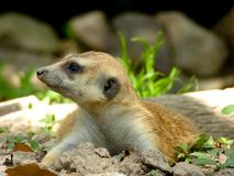 A Meerkat lying on the ground Stock Photos
