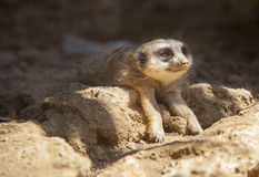 Meerkat lying on the sand Royalty Free Stock Photo
