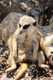 Meerkat lying in the sun Royalty Free Stock Photo