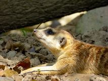A Meerkat lying under a tree Royalty Free Stock Images