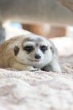 Meerkat lying in the zoo. Wildlife Meerkat lying in the zoo nature Royalty Free Stock Photo