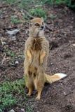 Meerkat with magic eyes Stock Photo