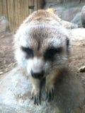 Meerkat making friends. Meerkat image taken at San diego Zoo Royalty Free Stock Photo