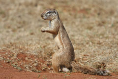 Meerkat male. Looking around in the grasslands royalty free stock photography