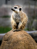 Meerkat. The meerkat is a mammal, a family of mangustov stock image