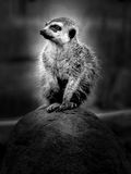 Meerkat. The meerkat is a mammal, a family of mangustov stock photo