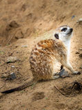 Meerkat. The meerkat is a mammal, a family of mangustov royalty free stock images