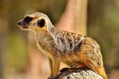 Meerkat, Mammal, Fauna, Terrestrial Animal Stock Photos