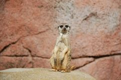 Meerkat, Mammal, Fauna, Terrestrial Animal Stock Photography
