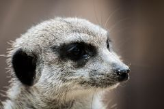 Meerkat, Mammal, Fauna, Whiskers royalty free stock images