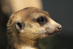 Meerkat, Mammal, Fauna, Whiskers Stock Photos