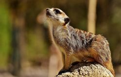 Meerkat, Mammal, Fauna, Wildlife Royalty Free Stock Photography