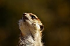 Meerkat, Mammal, Fauna, Wildlife Royalty Free Stock Photos