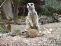 Meerkat, Mammal, Terrestrial Animal, Fauna Stock Photography