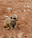 Baby Meerkat Manor Royalty Free Stock Photo