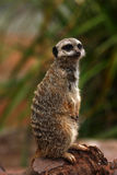 Meerkat Manor Royalty Free Stock Photography