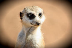 Meerkat in the Manor royalty free stock image