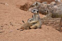 Meerkat matka jest żywieniowym dzieckiem Meerkats Obrazy Royalty Free