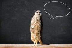 Meerkat med anförandebubblan i klassrum arkivbild