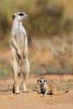 Meerkat med behandla som ett barn Royaltyfria Bilder