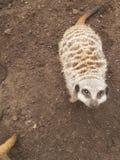 Meerkat 图库摄影