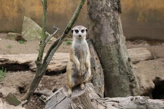 Meerkat. A meerkat sitting on a tree stump and looking directly into the camera stock photos