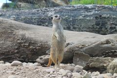Meerkat. In a wildpark zoo Stock Images