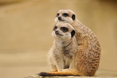 Meerkat. S keeping watch huddled together Royalty Free Stock Photography