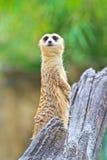 Meerkat Stock Photos