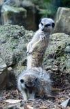 Meerkat met hoofd draaide het bekijken een andere meerkat Stock Foto