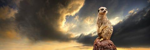 Meerkat met onweer Royalty-vrije Stock Afbeeldingen