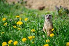 Meerkat met open mond en stok uit tong Stock Foto's