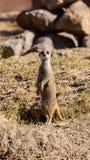 Meerkat Mince-coupé la queue Image stock