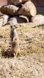 Meerkat Mince-coupé la queue Photo libre de droits