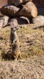 Meerkat Mince-coupé la queue Photos libres de droits