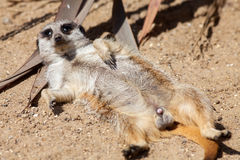 Meerkat misfit. Funny animal meme picture. Stock Photography
