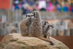 A Meerkat Mob. A mob of Meerkats peruse their land royalty free stock photo