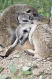 Meerkat mongoose. Family basking rest between them Stock Image
