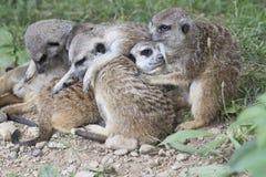 Meerkat mongoose. Family basking rest between them Stock Photography