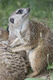 Meerkat mongoose. He observes its territory Royalty Free Stock Photos