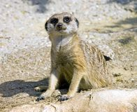 Meerkat Mongoose Royalty Free Stock Photography