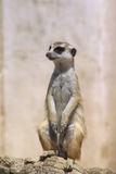 Meerkat mongoose suricata suricate. Meerkat mongoose adult in sentry pose royalty free stock photos